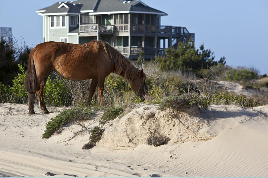 Wild horses are common in Corolla, North Carolina which is in the northernmost area of the Outer Banks